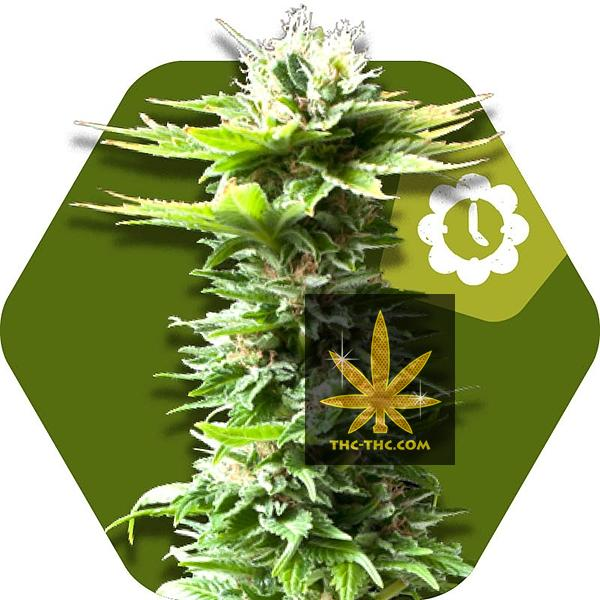 Power Kush Automatic Feminizowane - PROMO PACK 100szt