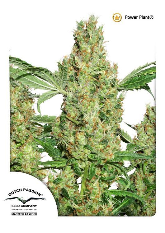 Power Plant Feminizowane, Nasiona Marihuany, Konopi, Cannabis