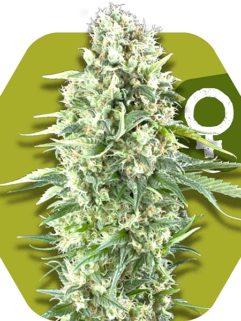 Power Plant XL Feminizowane, Nasiona Marihuany, Konopi, Cannabis