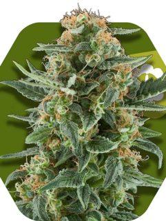 Power Plant XL Automatic Feminizowane, Nasiona Marihuany, Konopi, Cannabis