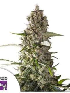 Prima Holandica Regularne, Nasiona Marihuany, Konopi, Cannabis