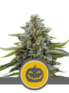 Pumpkin Kush Regularne, Nasiona Marihuany, Konopi, Cannabis