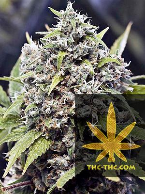 Pure Ak Feminizowane, Nasiona Marihuany, Konopi, Cannabis