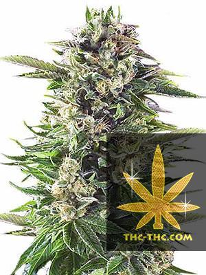 Purple Bud XXL Feminizowane, Nasiona Marihuany, Konopi, Cannabis