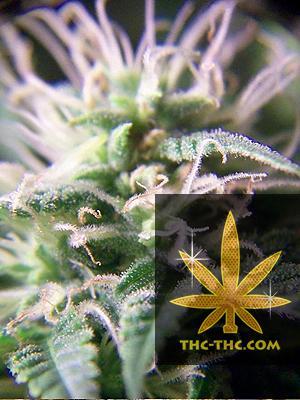 Purple Maroc Feminizowane, Nasiona Marihuany, Konopi, Cannabis
