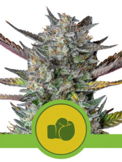 Purple Punch Automatic Feminizowane, Nasiona Marihuany, Konopi, Cannabis