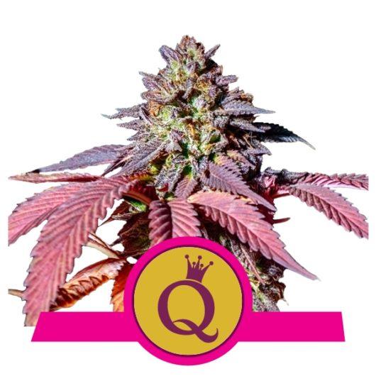 Purple Queen Feminizowane, Nasiona Marihuany, Konopi, Cannabis