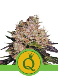 Purple Queen Automatic Feminizowane, Nasiona Marihuany, Konopi, Cannabis