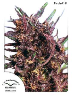 Purple#1 Regularne, Nasiona Marihuany, Konopi, Cannabis