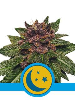 Purplematic CBD Automatic Feminizowane, Nasiona Marihuany, Konopi, Cannabis