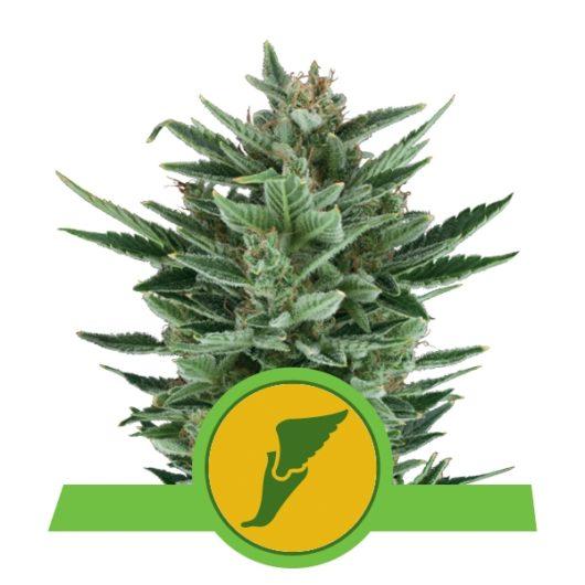 Quick One Automatic Feminizowane, Nasiona Marihuany, Konopi, Cannabis