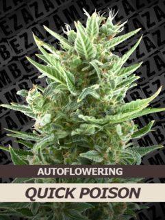 Quick Poison Automatic Feminizowane, Nasiona Marihuany, Konopi, Cannabis