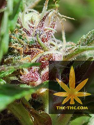 Red Purps Feminizowane, Nasiona Marihuany, Konopi, Cannabis