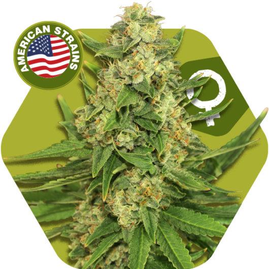 Rocket Banana Feminizowane, Nasiona Marihuany, Konopi, Cannabis