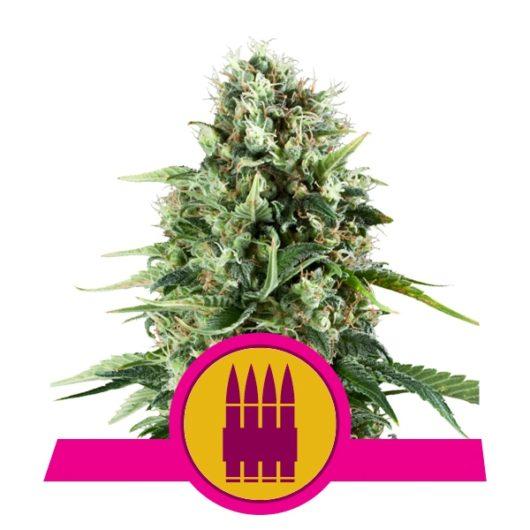 Royal Ak Feminizowane, Nasiona Marihuany, Konopi, Cannabis