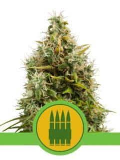 Royal Ak Automatic Feminizowane, Nasiona Marihuany, Konopi, Cannabis