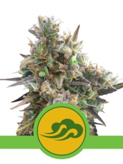 Royal Bluematic Automatic Feminizowane, Nasiona Marihuany, Konopi, Cannabis