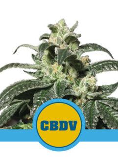 Royal CBDV Automatic Feminizowane, Nasiona Marihuany, Konopi, Cannabis