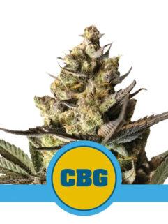 Royal CBG Automatic Feminizowane, Nasiona Marihuany, Konopi, Cannabis