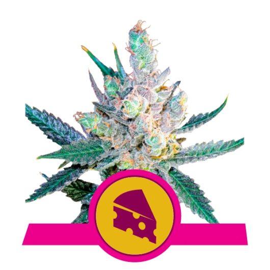 Royal Cheese Feminizowane, Nasiona Marihuany, Konopi, Cannabis