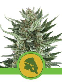 Royal Cheese Automatic Feminizowane, Nasiona Marihuany, Konopi, Cannabis