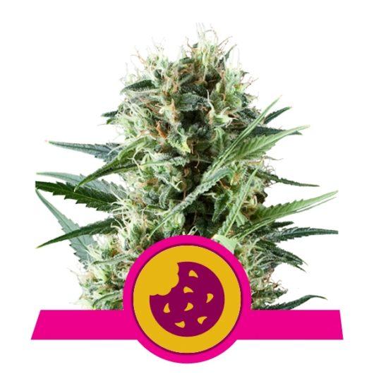 Royal Cookies Feminizowane, Nasiona Marihuany, Konopi, Cannabis