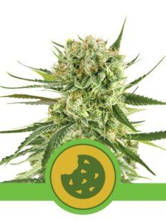 Royal Cookies Automatic Feminizowane, Nasiona Marihuany, Konopi, Cannabis