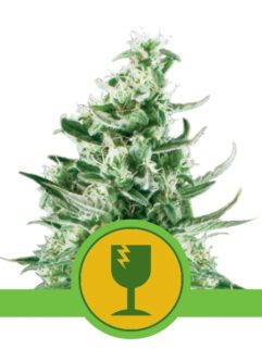 Royal Critical Automatic Feminizowane, Nasiona Marihuany, Konopi, Cannabis