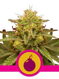 Royal Domina Feminizowane, Nasiona Marihuany, Konopi, Cannabis