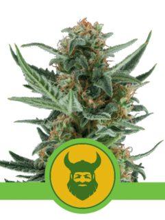 Royal Dwarf Automatic Feminizowane, Nasiona Marihuany, Konopi, Cannabis