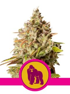Royal Gorilla Feminizowane, Nasiona Marihuany, Konopi, Cannabis