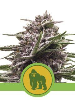 Royal Gorilla Automatic Feminizowane, Nasiona Marihuany, Konopi, Cannabis