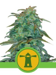 Royal Haze Automatic Feminizowane, Nasiona Marihuany, Konopi, Cannabis