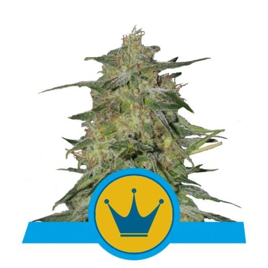 Royal Highness Feminizowane, Nasiona Marihuany, Konopi, Cannabis