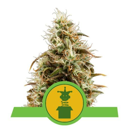 Royal Jack Automatic Feminizowane, Nasiona Marihuany, Konopi, Cannabis