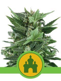 Royal Kush Automatic Feminizowane, Nasiona Marihuany, Konopi, Cannabis