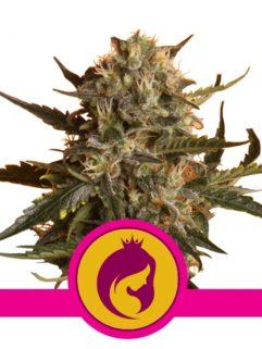 Royal Madre Feminizowane, Nasiona Marihuany, Konopi, Cannabis