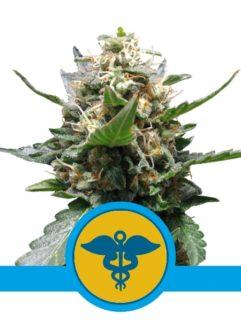 Royal Medic Feminizowane, Nasiona Marihuany, Konopi, Cannabis