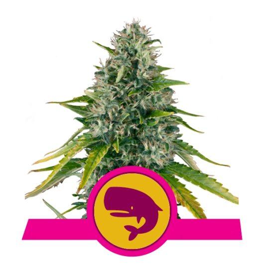 Royal Moby Feminizowane, Nasiona Marihuany, Konopi, Cannabis