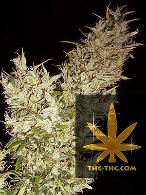 Rudealis Skunk#2 Feminizowane, Nasiona Marihuany, Konopi, Cannabis