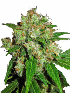 Sensi Skunk Feminizowane, Nasiona Marihuany, Konopi, Cannabis