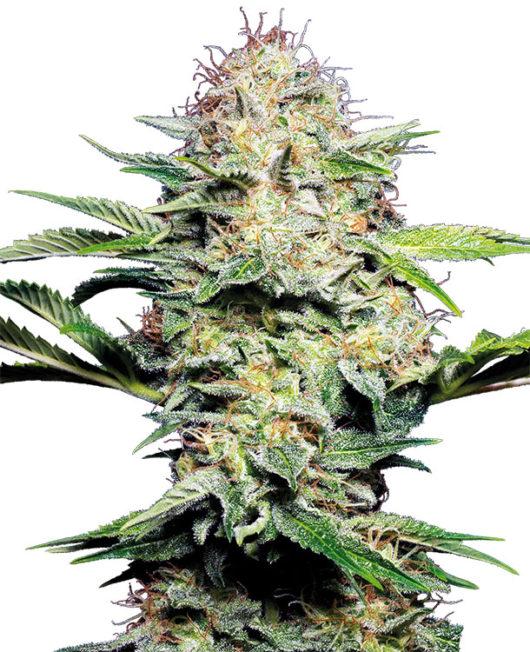 Sensi Skunk Automatic Feminizowane, Nasiona Marihuany, Konopi, Cannabis