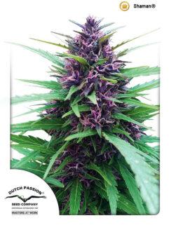 Shaman Regularne, Nasiona Marihuany, Konopi, Cannabis