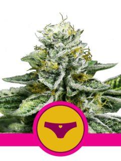 Sherbet Queen Feminizowane, Nasiona Marihuany, Konopi, Cannabis