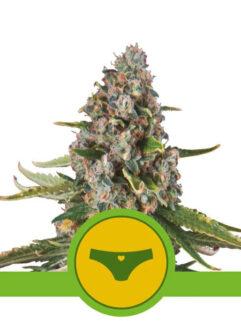 Sherbet Queen Automatic Feminizowane, Nasiona Marihuany, Konopi, Cannabis