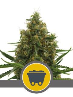 Shining Silver Haze Regularne, Nasiona Marihuany, Konopi, Cannabis