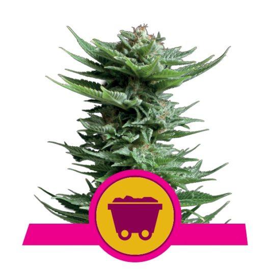 Shining Silver Haze Feminizowane, Nasiona Marihuany, Konopi, Cannabis