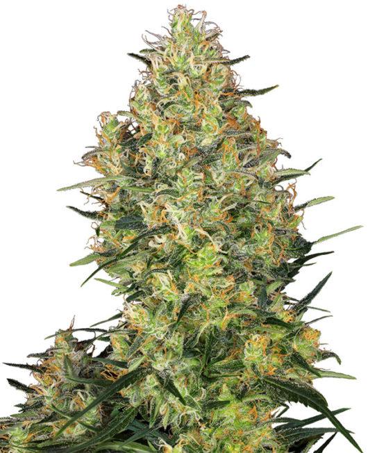 Shiva Skunk Feminizowane, Nasiona Marihuany, Konopi, Cannabis