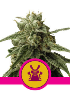 Shogun Feminizowane, Nasiona Marihuany, Konopi, Cannabis
