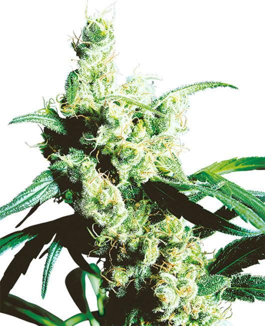 Silver Haze Feminizowane, Nasiona Marihuany, Konopi, Cannabis